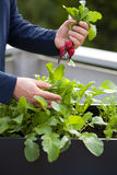 Man gardener picking radish from vegetable container garden on b Stock Photography