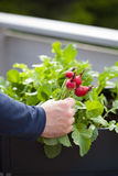 Man gardener picking radish from vegetable container garden on b Royalty Free Stock Photo