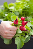 Man gardener picking radish from vegetable container garden on b Royalty Free Stock Photos