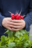 Man gardener picking radish from vegetable container garden on b. Alcony Stock Image