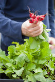 Man gardener picking radish from vegetable container garden on b. Alcony Stock Photos