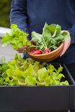 Man gardener picking salad and radish from vegetable container g. Arden on balcony Royalty Free Stock Photo