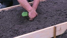 Man gardener plants vegetable plant in garden bed, hands closeup. stock footage