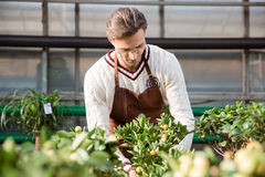 Man gardener taking care of small trees in greenhouse Royalty Free Stock Photos