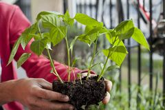 Free Man Gardener Transplanting Young Chili Pepper Plants To Bigger Pots - Gardening Activity On The Sunny Balcony Royalty Free Stock Image - 149188856