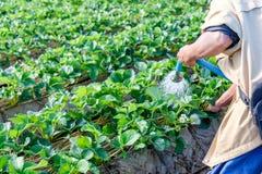 Man gardener watering strawberry plant Royalty Free Stock Photo