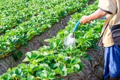 Man gardener watering strawberry plant Royalty Free Stock Image