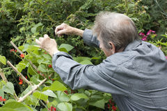 Man gardening and checking his runner bean plants Stock Images