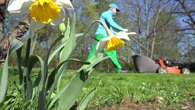 Man gardening with lawn mower and narcissus daffodil flower. 4K stock video footage