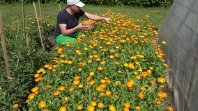 Man gather marigold blossom in wicker basket flower garden. 4K. Young man gather marigold blossom in wicker basket on flower garden. 4K UHD video clip stock video