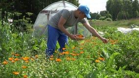Man gather marigold blossom on wicker plate in summer garden. 4K stock video footage