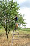Man gathering cherries from the tree Stock Photography