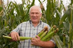 Man gathering corn Royalty Free Stock Photography