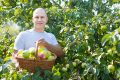Man gathers apples in  garden Stock Photo