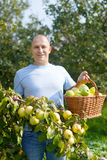 Man gathers apples in  garden Stock Image