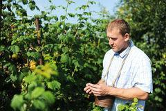 The man gathers raspberry. The man in a kitchen garden gathers raspberry Stock Photo