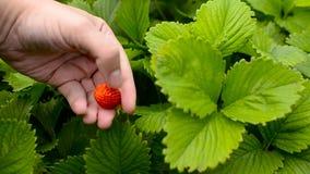 Man gathers strawberry. stock video footage