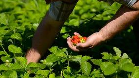 Man gathers strawberry. stock video