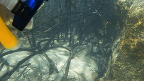 A man gets up close to mangroves underwater. A slow motion shot of a man checking out the rocks and mangroves underwater stock video