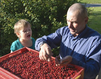 Man and girl checking fruit Stock Image