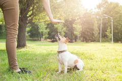 A man gives commands to a breed dog jack russel terrier which sits on the green grass. In the park stock image
