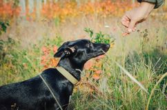Man gives food to a mongrel dog stock photography