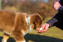 Man gives his puppy a treat. Man gives his Australian Shepherd puppy a treat Stock Photos