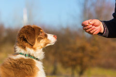 Man gives his puppy a treat Royalty Free Stock Image