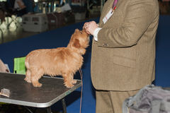 Man gives Norfolk terrier treat. Indoor photo stock photos