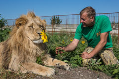 Man gives sunflower lion Royalty Free Stock Photography