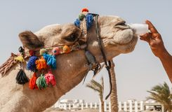 Man gives to drink from a plastic cup of camel, close-up.  royalty free stock images