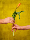 Man giving tulip to woman Royalty Free Stock Photo