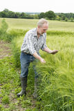 Man Glances at Tablet Screen and Holding Wheat Stalk. Man glances at his tablet computer`s screen while holding a stalk of wheat in a field Royalty Free Stock Photography
