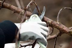 Man with gloves is cutting branches from tree Royalty Free Stock Image