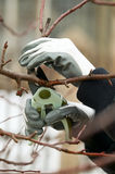 Man with gloves is cutting branches from tree Stock Photography
