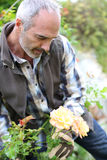 Man with gloves in garden taking care of roses Stock Image