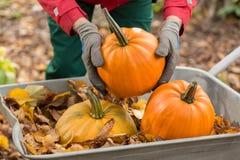 A man with gloves holding a pumpkin in the garden Stock Photos