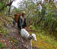 Man with goats walking on trail of forest royalty free stock images