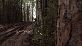A man goes on the road in a pine forest. Forester stock video