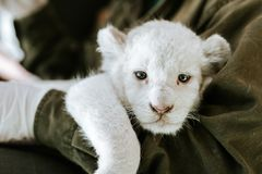 Man in green jacket holding cute furry white lion. Cub in hands royalty free stock photos
