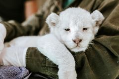 Man in green jacket holding cute furry white lion. Man in green jacket holding cute sleepy white lion cub in hands stock photo