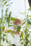Man in greenhouse care about tomato plant Stock Photos