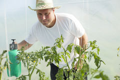 Man in greenhouse care about tomato plant Royalty Free Stock Photography