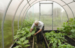 Man in greenhouse corrects eggplant seedlings. Stock Photo