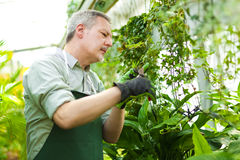 Man in a Greenhouse Stock Image