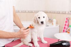 Man grooming of his dog at home Stock Photography