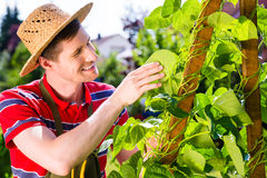 Man growing vegetables. In garden Stock Image