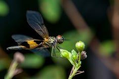 Man guling-gjorde randig flutterersländaRhyothemis phyllis på en fatta Arkivfoto