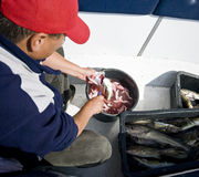 Man gutting fish. A fisherman gutting the cod fish Stock Photos