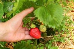 Man hållande jordgubbar för handen i lantgårdfältet som kontrollerar om royaltyfria bilder